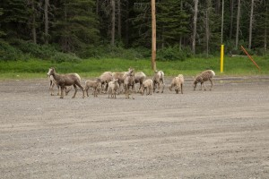 Herd of Mountain goats at the Lodge parking lot at the Mt Norquay base station