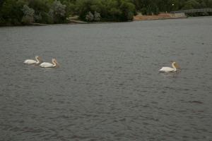 Pelicans ? in Regina