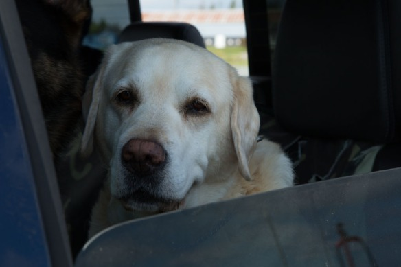 Duke in the truck at Bayfield harbour