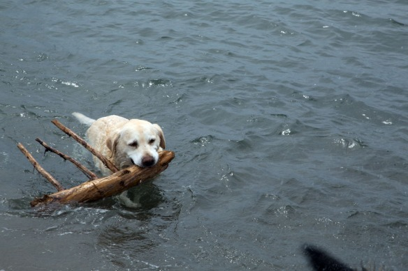 Port Shoreham Provincial Park with Duke bringing the stick from the water
