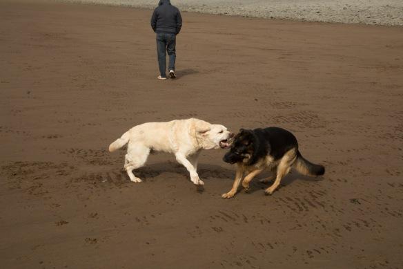 Duke & Kona playing on the beach