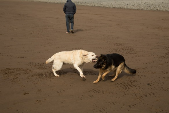 Duke & Kona playing on the beach