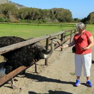 Cape Point Ostrich Farm with Judi feeding the ostriches 2