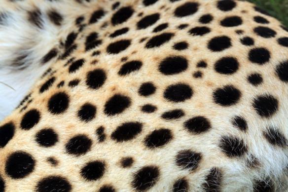 Cheetahs spots