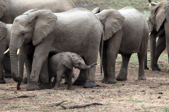 Elephant baby coming back out to check out the world