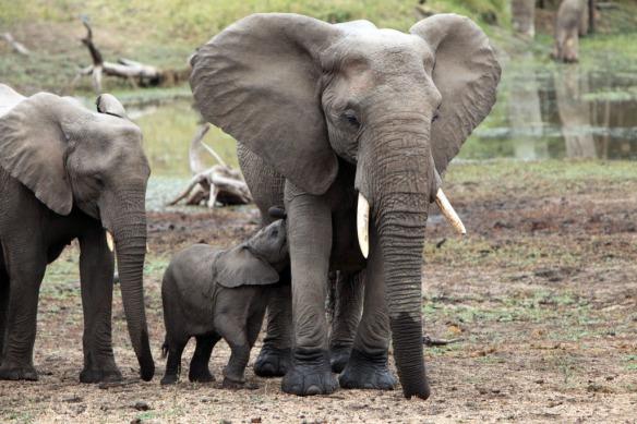 Elephant baby snuggling up to mum