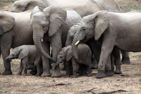 Elephant herd has 2 tiny babies
