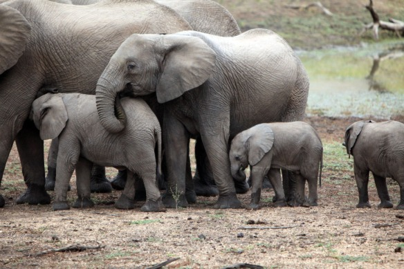 Elephants adults, juveniles and baby
