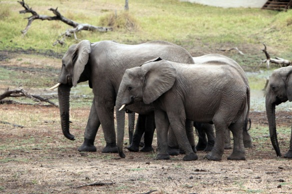 Elephants, young ones of various ages