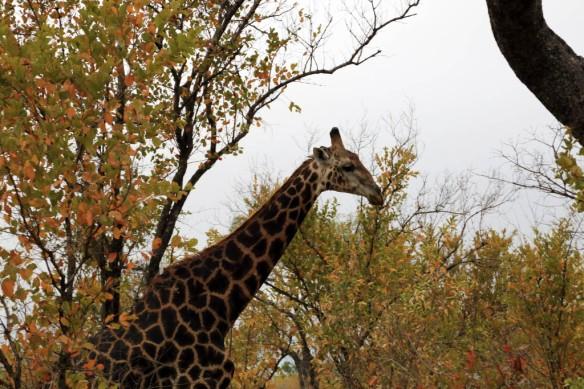 Giraffe walking through the bush
