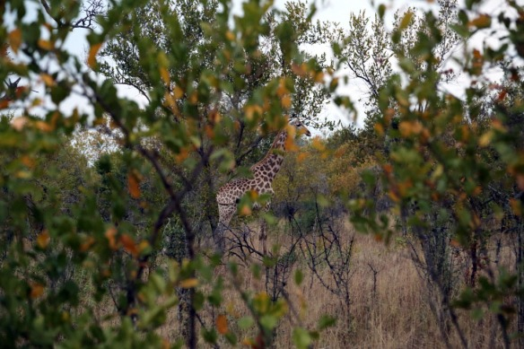 Giraffe through the trees