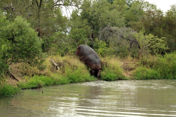 Hippo leaving the water immediately after we arrived