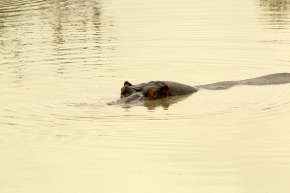 Hippo swimming in the water hole close to the Leopard sighting