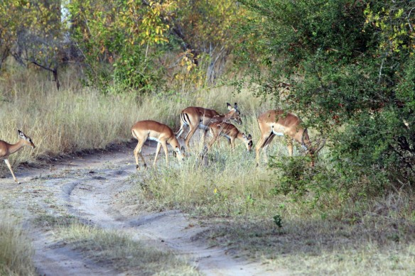 Impala and baby grazing close to the Buffalo