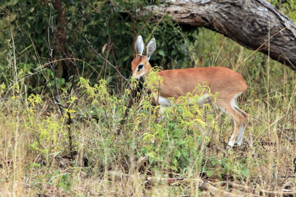 Impala female eating tall grass