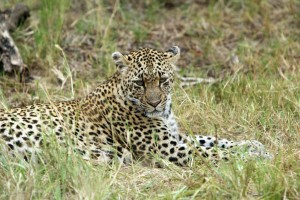 Shadow, the female Leopard in clearing with close up on face