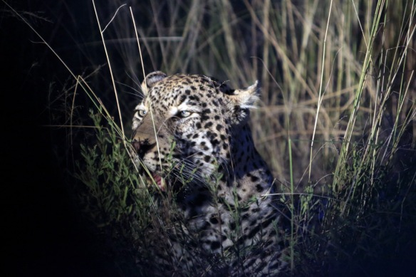 Leopard male called quarantine