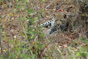 Leopard male cub about 9 months old just outside the resort