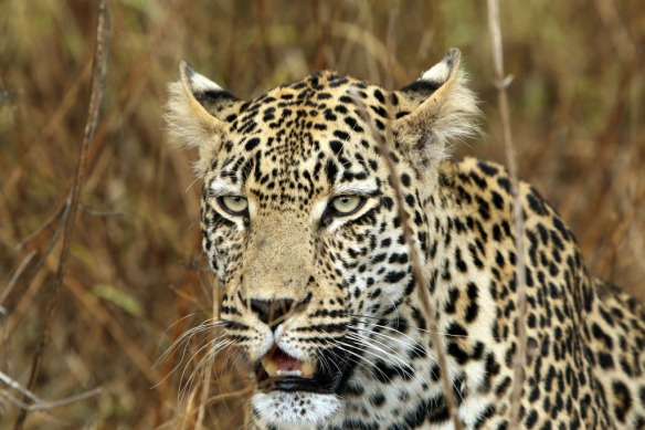 Leopard male face close-up