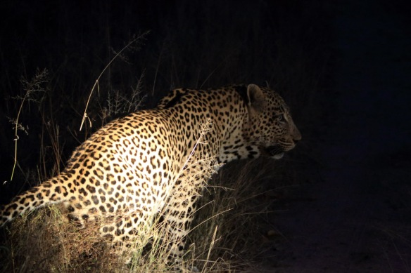 Leopard male following him along road