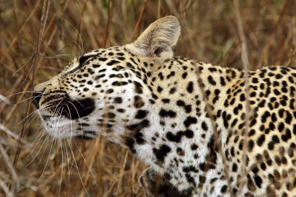 Leopard male having a scratch