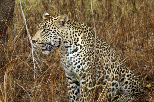 Leopard male sitting