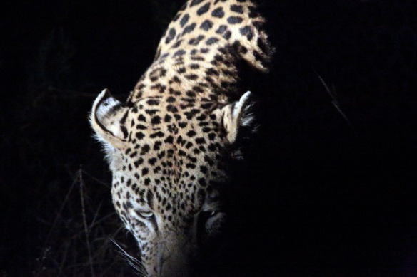 Leopard male stalking along side of truck