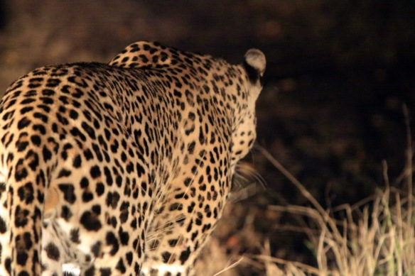 Leopard male walked passed the truck