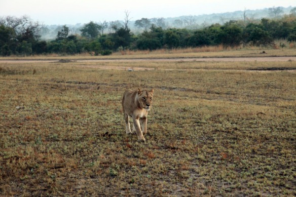 Lion female walking with purpose along side of airstrip