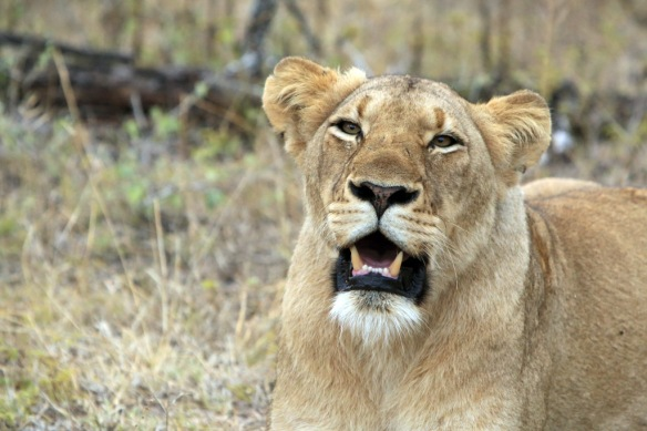 Lion growling with saliva in mouth watching us