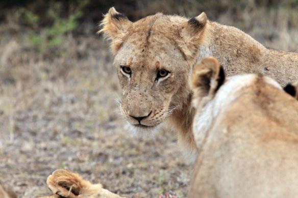 Lion head close-up