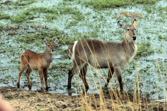 Waterbuck female and baby