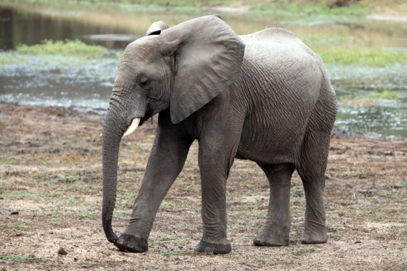 Young elephant just out of the water