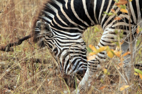 Zebra close up