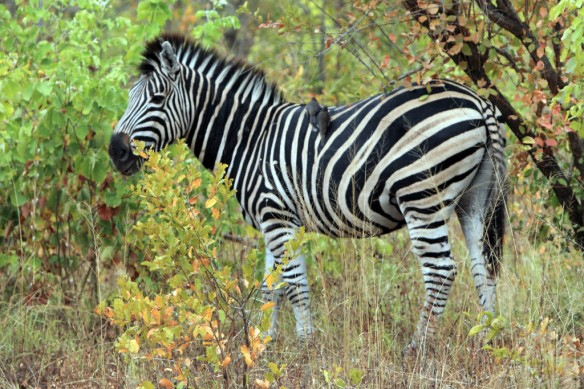 Zebra grazing by the side of the road
