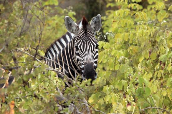 Zebra head close-up