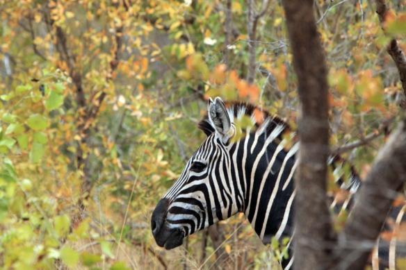 Zebra head close up