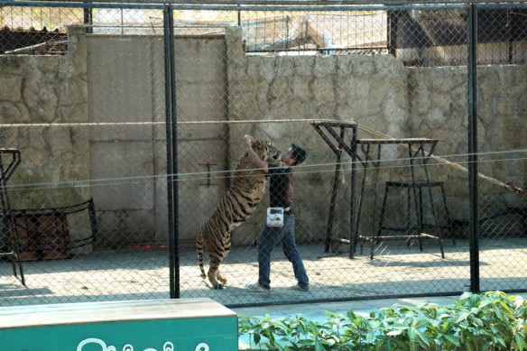Tiger Show with tiger giving hugs