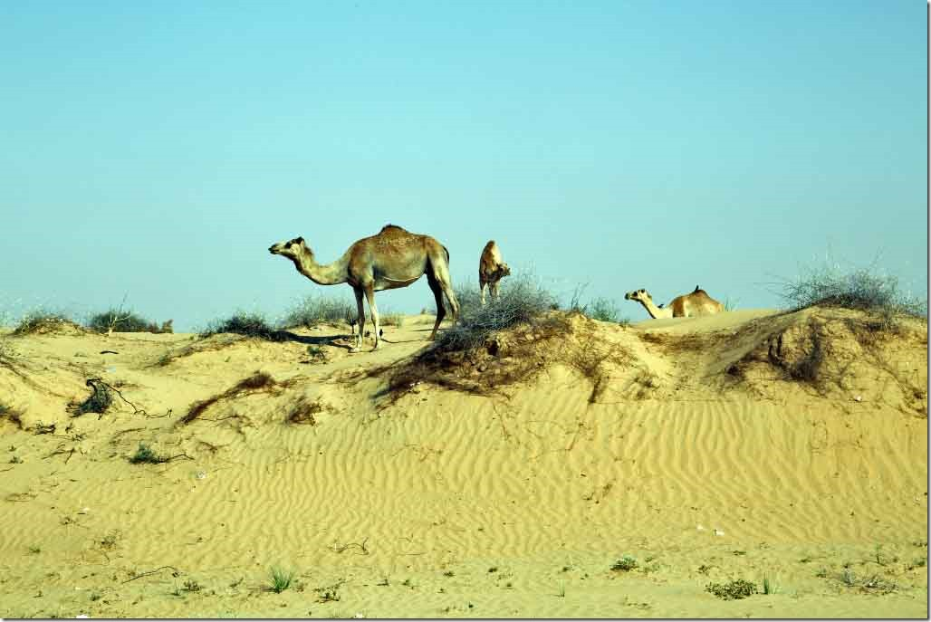 Camels by the road outside of Dubai