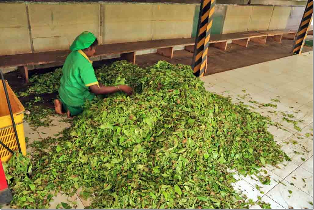 Freshly picked leaves being turned and inspected
