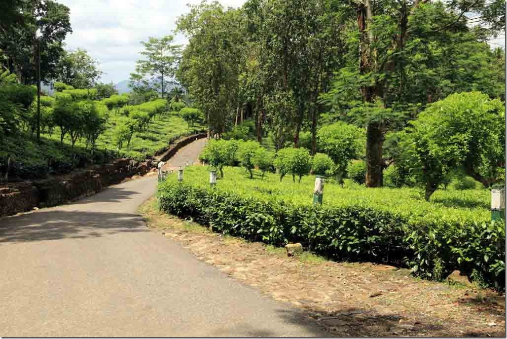 The narrow roads of the Tea Plantation