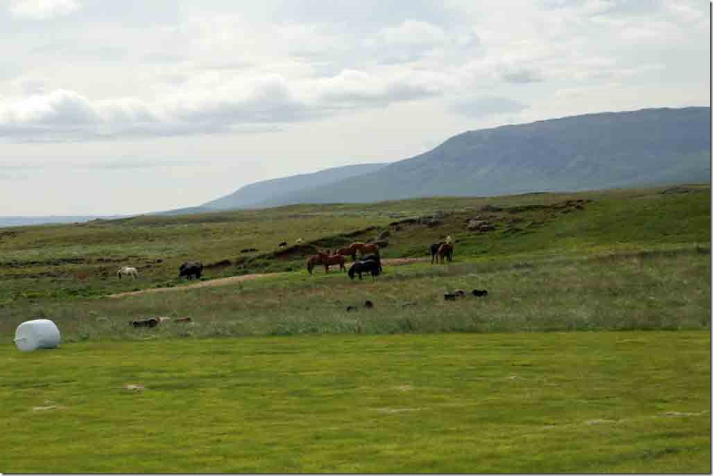 Enroute to Geyser with horses and sheep grazing together