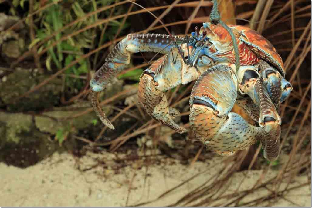 Bora Bora Tour coconut crab at the market stop 2