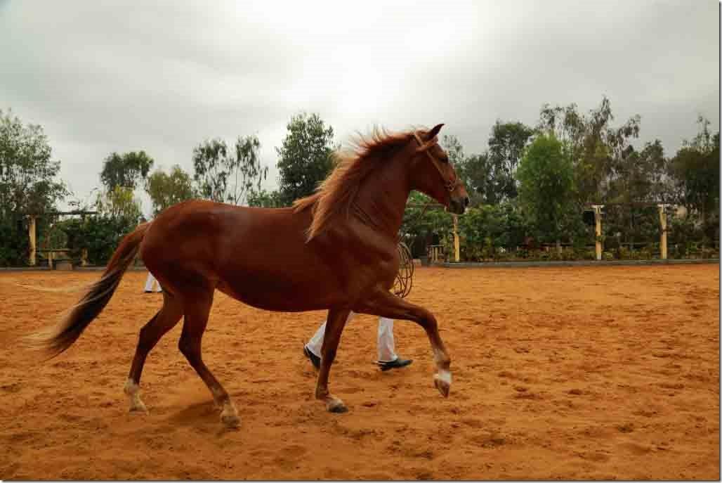 Hacienda Mamacona horse trotting with handler 2