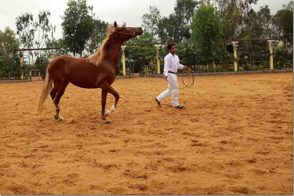 Hacienda Mamacona horse with head up high