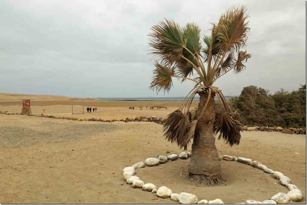 Palm tree on the otherwise desolate Paracas National Park museum grounds