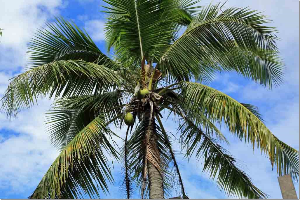 Tahara's One Tree Hill coconut palm tree