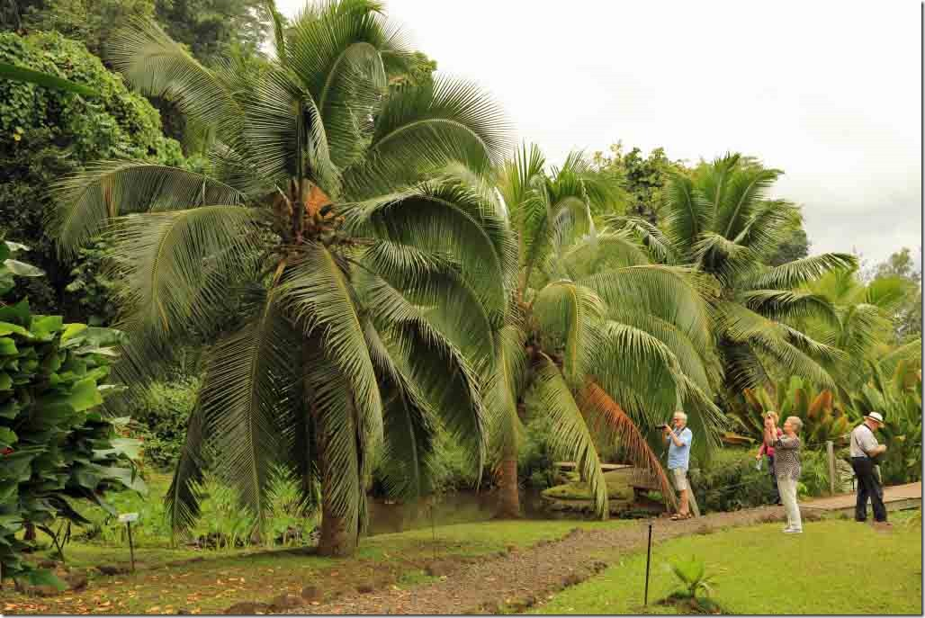 Vaipahi gardens row of coconut palm trees fully loaded