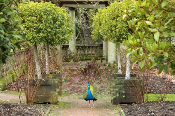 Royal Roads peacock in garden