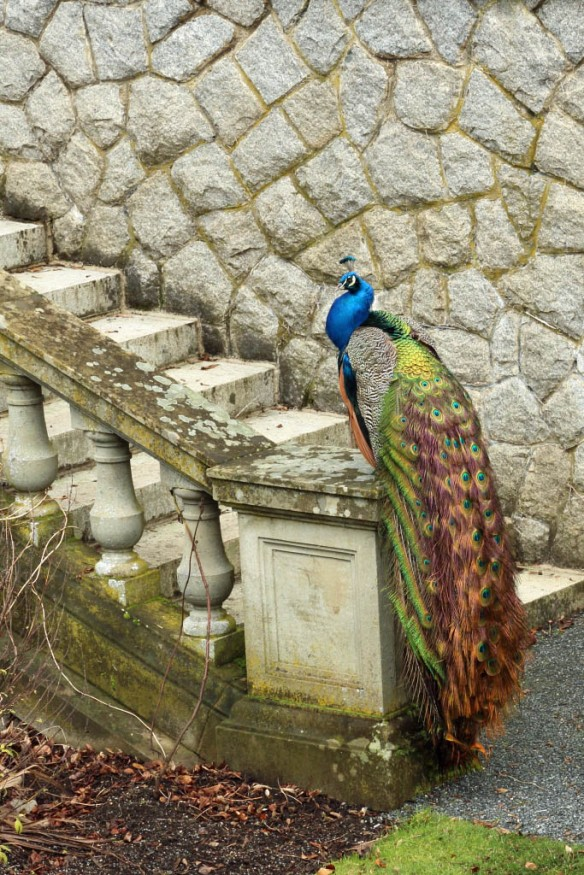 Royal Roads Peacock sitting on wall